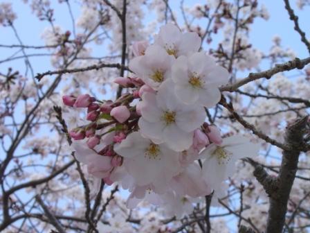 桜さくら2