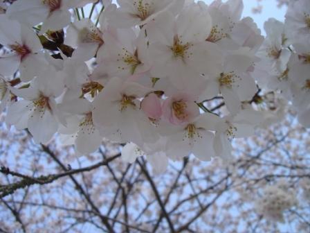 桜さくら3